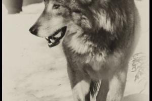 Lobo grey wolf
